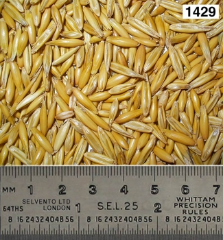 Oat seeds (bulk in container)